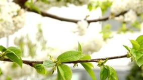 Flor blanco de la rama de la cereza que balancea en la brisa HD de la primavera almacen de metraje de vídeo