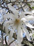 Flor blanco del árbol contra el cielo imagenes de archivo