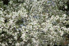 Flor blanco del árbol de ciruelo Fotos de archivo libres de regalías