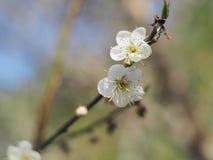 Flor blanco del melocotón Imágenes de archivo libres de regalías