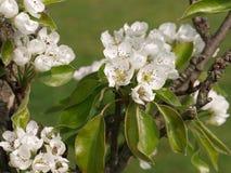 Flor blanco del peral foto de archivo libre de regalías