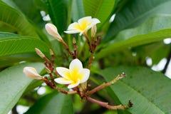 Flor blanco en el parque histórico en sukhothai Fotos de archivo