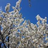 Flor blanco Londres de la cereza Imágenes de archivo libres de regalías