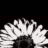 Flor blanco y negro abstracta del gerbera foto de archivo