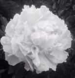 Flor blanco y negro de la peonía Fotografía de archivo libre de regalías
