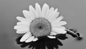 Flor blanco y negro en agua Fotografía de archivo