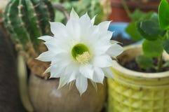 Flor blanda blanca sedosa hermosa del cactus de Echinopsis Lobivia Imágenes de archivo libres de regalías