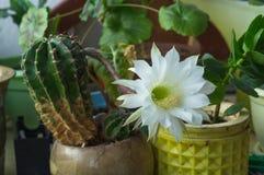 Flor blanda blanca sedosa hermosa del cactus de Echinopsis Lobivia Fotos de archivo libres de regalías