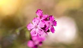 Flor blanda de la primavera con los rayos brillantes Foto de archivo