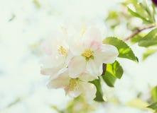 Flor blando de la manzana Imagen de archivo