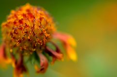 A flor bonita Fotografia de Stock Royalty Free