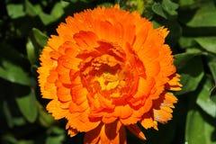 Flor bonita alaranjada no norte de Tailândia imagens de stock