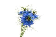 Flor bonita azul de NIGELLA fotos de stock royalty free
