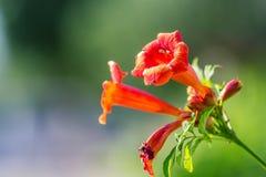 Flor bonita Campsis Fotos de Stock