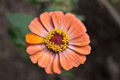 Flor bonita com pétalas alaranjadas Imagens de Stock Royalty Free