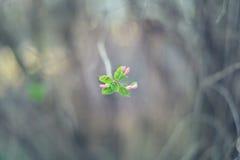 Flor bonita da árvore de maçã Fotografia de Stock Royalty Free