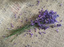 Flor bonita da alfazema na lona Fotos de Stock Royalty Free