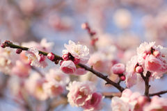 Flor bonita da ameixa Imagem de Stock