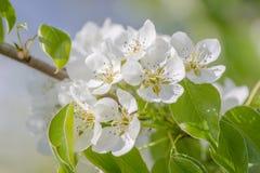Flor bonita da ameixa na estação de mola imagens de stock