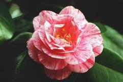 Flor bonita da camélia Foto de Stock
