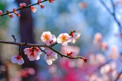 Flor bonita da flor de cerejeira na cidade de Jinhae de Coreia do Sul fotografia de stock