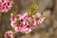 Flor bonita da flor de cerejeira na florescência foto de stock royalty free