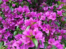 Flor bonita da flor do rosa de himalaya natural imagem de stock royalty free
