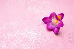 Flor bonita da frésia em sparkles e no fundo cor-de-rosa fotografia de stock