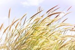 Flor bonita da grama no humor macio com o céu doce da cor Imagens de Stock Royalty Free