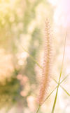 Flor bonita da grama no humor macio entre o bokeh da natureza Imagem de Stock Royalty Free