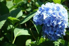 Flor bonita da hortênsia do close-up na temporada de verão Imagem de Stock