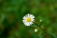 Flor bonita da margarida Fotos de Stock Royalty Free