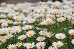 Flor bonita da margarida branca no prado Foto de Stock Royalty Free