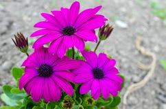 Flor bonita da margarida de Dimorphoteca na mola Imagens de Stock
