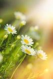 Flor bonita da margarida no prado Imagem de Stock