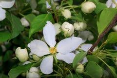 Flor bonita da mola em uma árvore de maçã Fotos de Stock Royalty Free