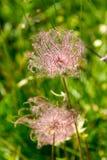 Flor bonita da montanha Fotografia de Stock Royalty Free