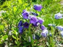 Flor bonita da montanha roxa no parque nacional de Vysoke Tatr imagens de stock royalty free