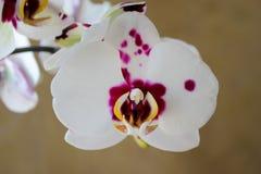 Flor bonita da orquídea Fotos de Stock Royalty Free