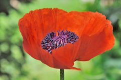 Flor bonita da papoila Fotografia de Stock Royalty Free