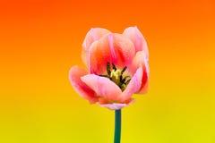 Flor bonita da tulipa da mola Imagem de Stock