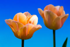 Flor bonita da tulipa da mola Fotografia de Stock