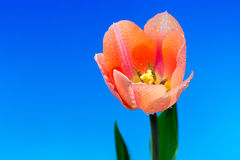 Flor bonita da tulipa da mola Fotos de Stock Royalty Free