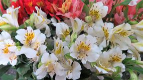 A flor bonita de Alstromeria fotografia de stock royalty free