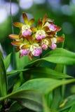 Flor bonita de Cattleya em Tailândia Fotografia de Stock