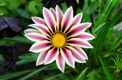 Flor bonita de Gazalea fotos de stock