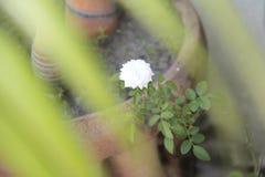 Flor bonita de meu jardim Fotografia de Stock Royalty Free