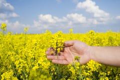 Flor bonita de olza do  de Ñ na palma dos fazendeiros Fotografia de Stock Royalty Free