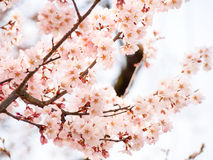 Flor bonita 6 de Sakura Fotos de Stock Royalty Free