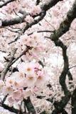 A flor bonita de sakura da mola floresce em uma árvore de cereja de Yoshino em Japão Fotos de Stock